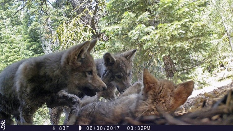 Trump officials end gray wolf protections across most of US https://t.co/fXGaUdK5Mq #10TV https://t.co/IR3TUKDMXh
