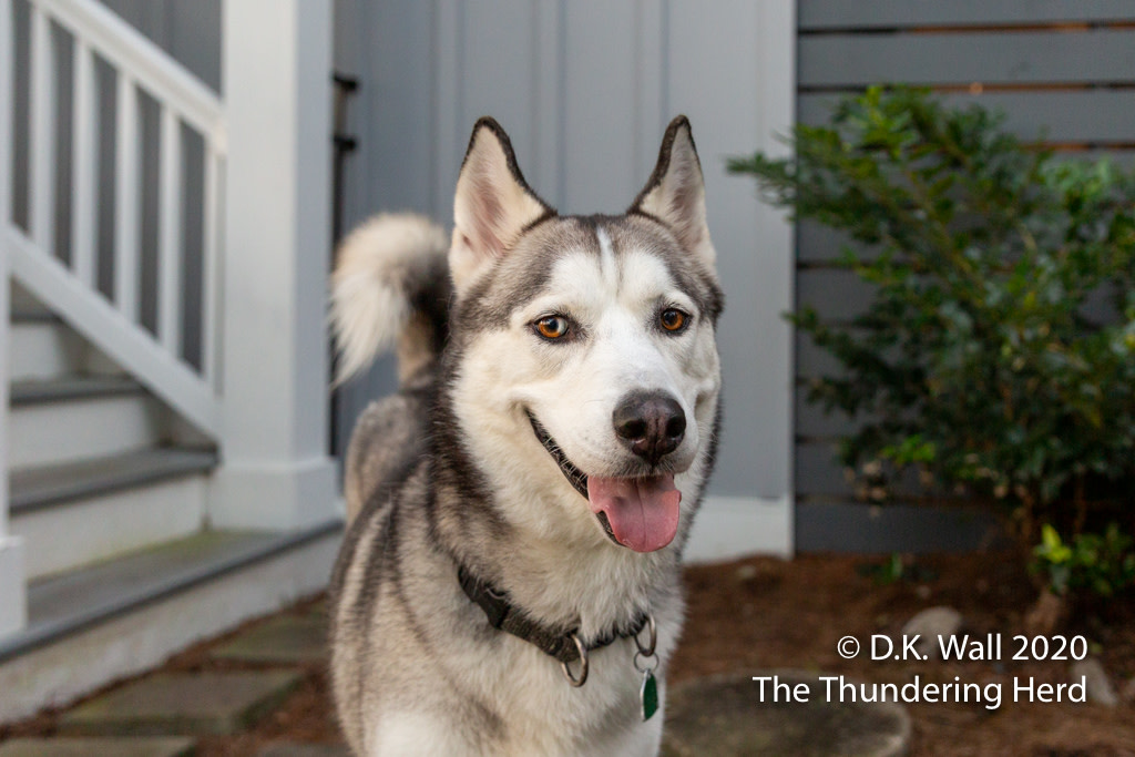 I'll wear a mask. No one will guess.  From Today's Story - Roscoe's Halloween Costume - https://t.co/rJIBiLeHiz  #dog #dogs #dogsofinstagram #siberian #sibe #siberianhusky #husky #huskies #huskylove https://t.co/4WzUJm5q8J