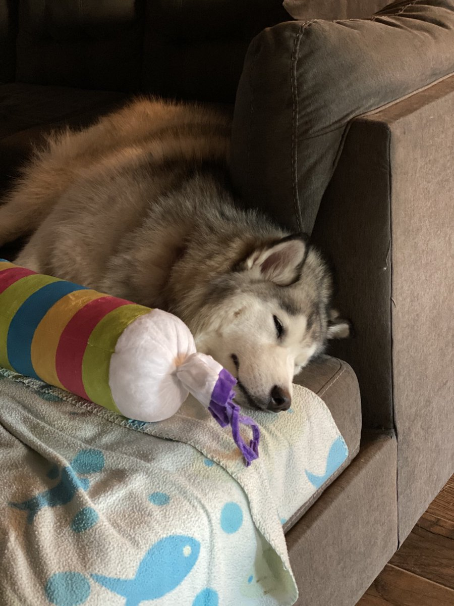 This is what I saw while packing... half hearted chewing of the toy and sad demeanor snowy 😶 I almost wanted to stay home but .... #dogs #dogsoftwitter #siberianhusky #emodog https://t.co/8LD0ZlrsTf