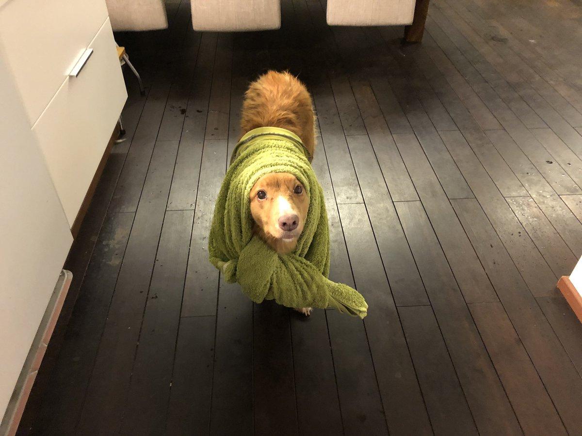 On se joskus hankala olla lady, kun on pakko saunan jälkeen näin kuivatella. 😌 #toller #dog #turku #raisio #sauna #finland https://t.co/7A3LKvlriF