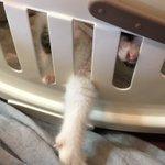 Image for the Tweet beginning: 7月のある日の通院日。 巻いてた包帯が部分に貼るだけタイプに変わりました。  #猫 #cat #片耳猫 #羽ちゃん
