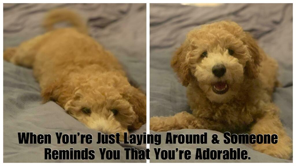 Adorbs! via /r/labradoodles https://t.co/hGXkqiKGv9 #labradoodle #puppy #dogs https://t.co/YV36nAW3wx