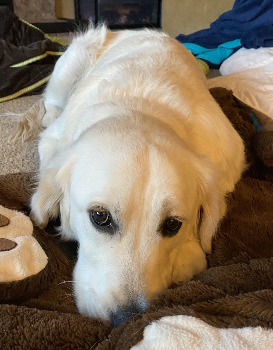 Waking up slowly...#dogsoftwitter #goldenretriever #GoldenRetrievers #puppy #puppylove #SaturdayMorning https://t.co/F6Giz6eBI2