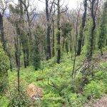 Image for the Tweet beginning: Eucalyptus regrowth after the #Australianfires. #Hope