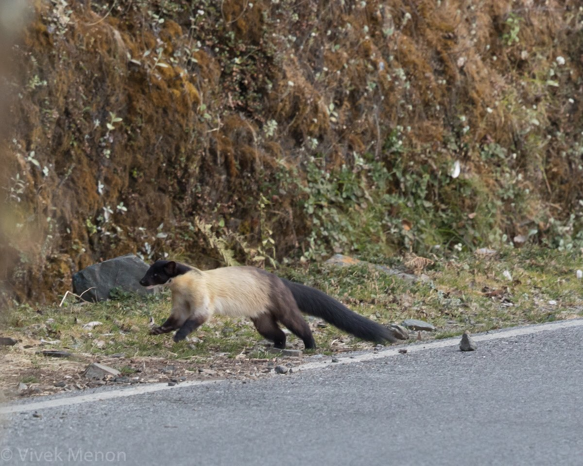 What do you do if a #Himalayan Yellow-throated marten crosses the road? Thank your stars photograph it & wait for its mate. They always travel in pairs & I saw the same #carnivores cross the road thrice on different days at the same stretch. Lucky? You bet. #IndiMammals #IndiWild https://t.co/qwMT50q0Z7