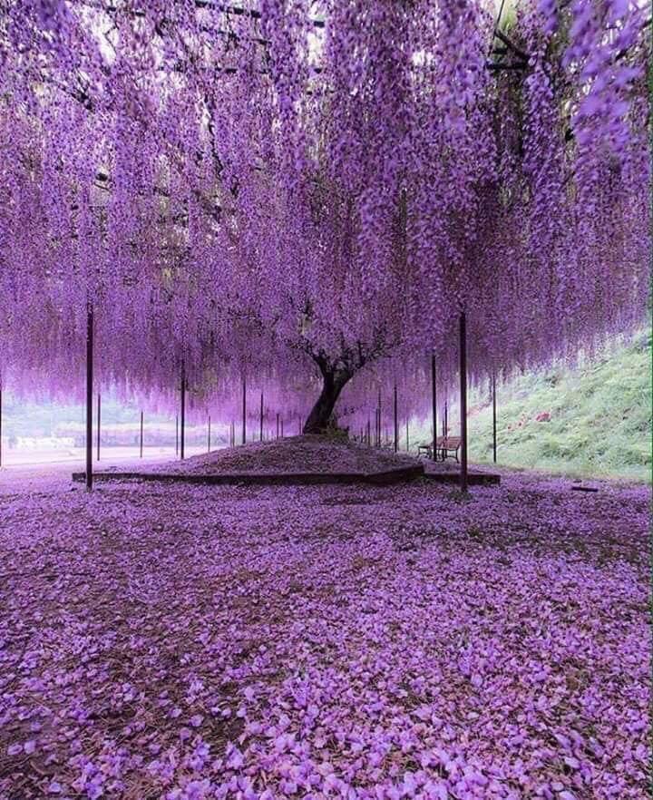 圧巻 樹齢2000年の藤の花