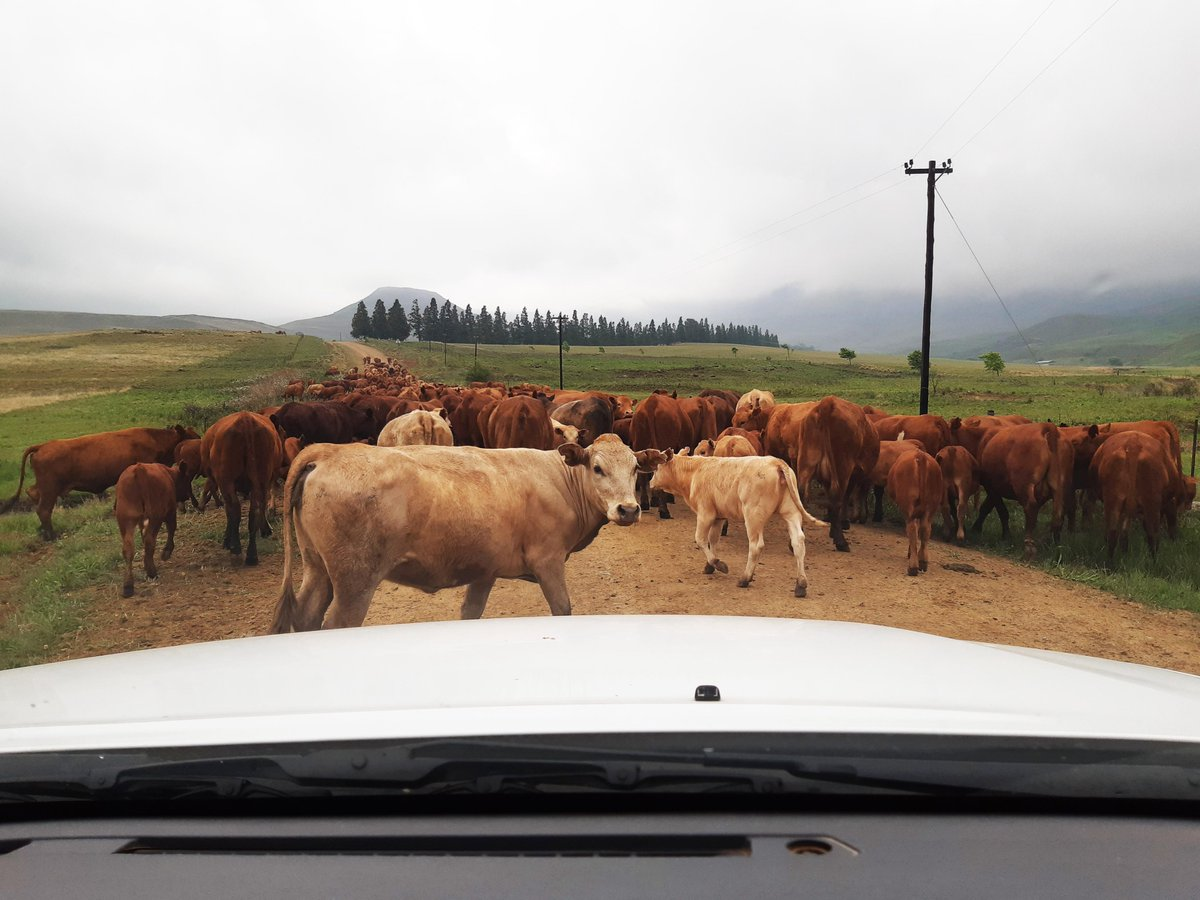 Switch gears to life in the slow lane... visit the KZN Midlands for a moooove to a country style of life. Good for sipping a brew around the fireplace, adventure sports, arts and crafts, nature and outdoors and more. #kznmidlands #nottinghamroad #countryside #getaway  @SATourism https://t.co/JQJYF5Xaw8