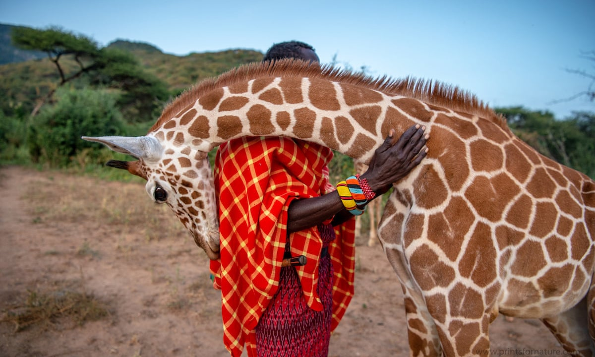 An orphaned reticulated giraffe nuzzles its keeper Prints for Nature sale features some of the world's finest photographers working to protect people, wildlife & the environment.  100% of net proceeds will support core Conservation International initiatives