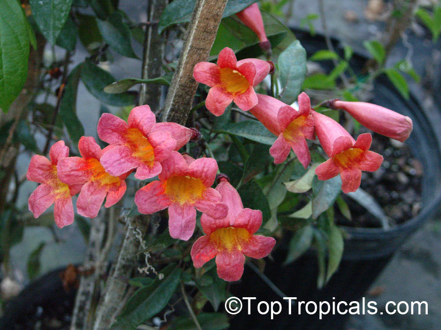 #Bignonia Capreolata - Crossvine. Fast-growing cross-vine with deep red buds in spring, which open to reveal a cheery yellow inside. Tubular flowers appear in late spring. Very cold hardy, easy to grow.   #floweringvines #ornamentalplants #ThursdayThoughts