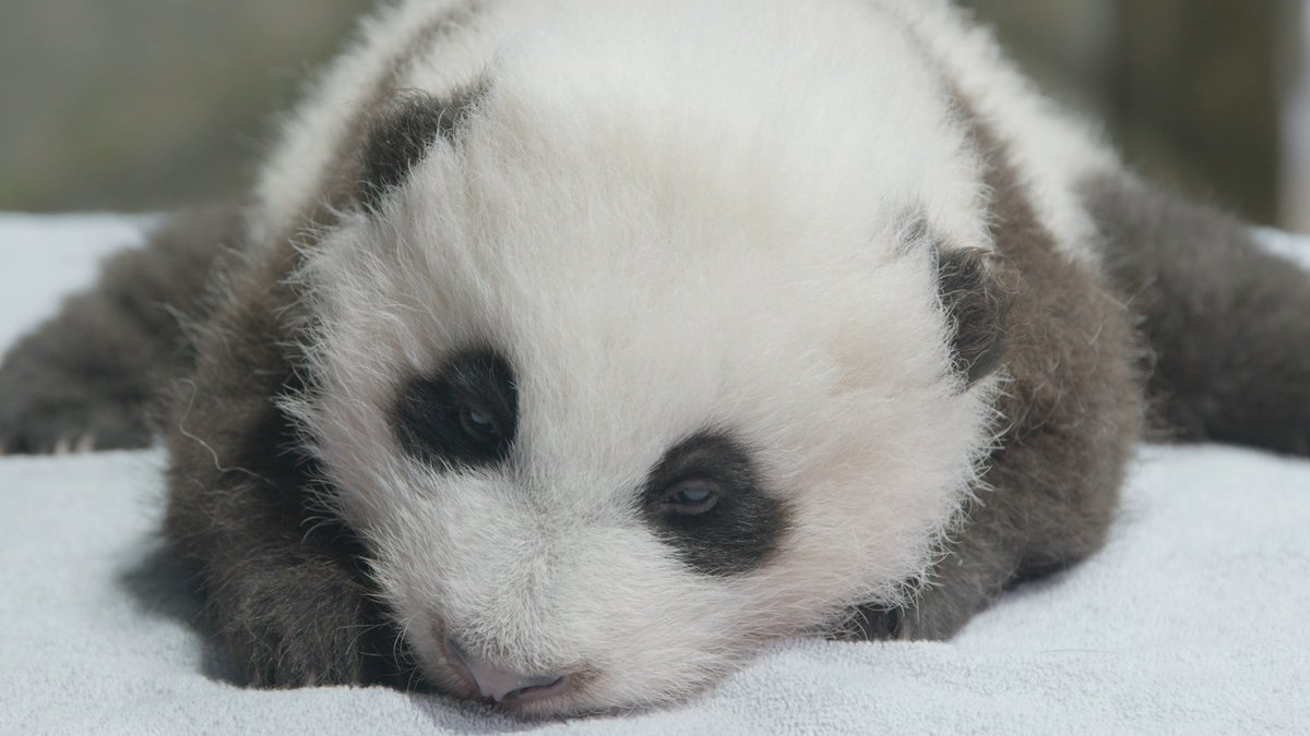Replying to @UberFacts: An 11-week-old baby panda was weighed at the Smithsonian's National Zoo.  Here you go 🐼❤️