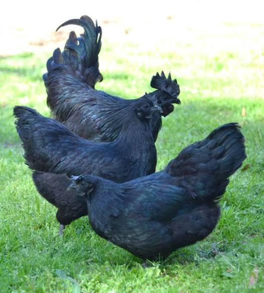 Black skinned chicken