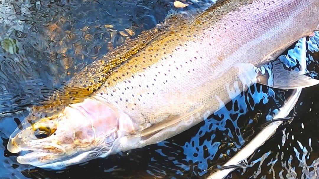 Chiefz - Fall Steelhead Fishing 🍂