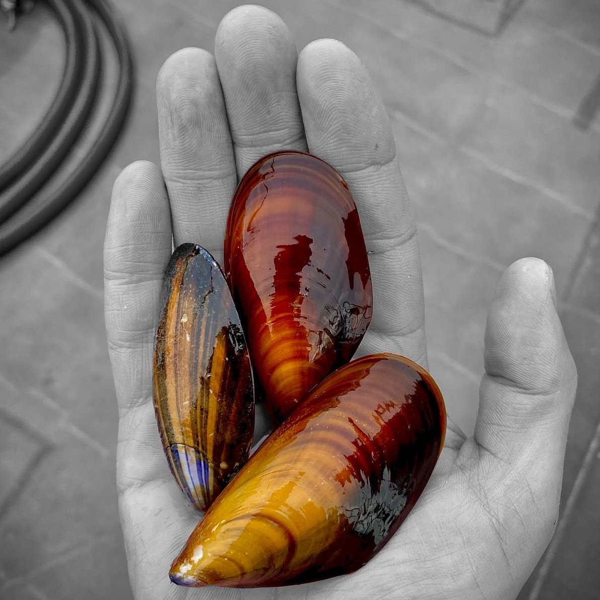 Check out the color on these mussels – so beautiful! Love the warm, autumn tones. https://t.co/c0AkzH57C8