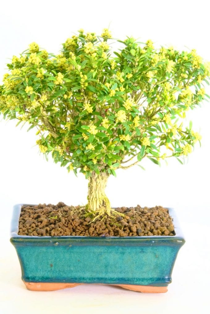 Bonsai Bonsaidirect Twitter
