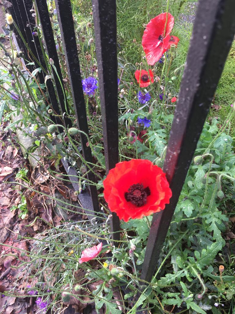 We remember. Poppies grown in the EBE garden.