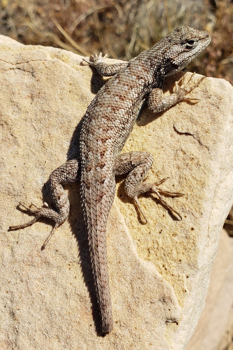Plateau Fence Lizard (Sceloporus tristichus) is typically out sunning on a warm day, but begins to hibernate at this time of the year. Its chevron patterns are made up of keeled scales, helping it to blend into its surroundings. Credit NPS (hl) #wildlife #PetrifiedForest