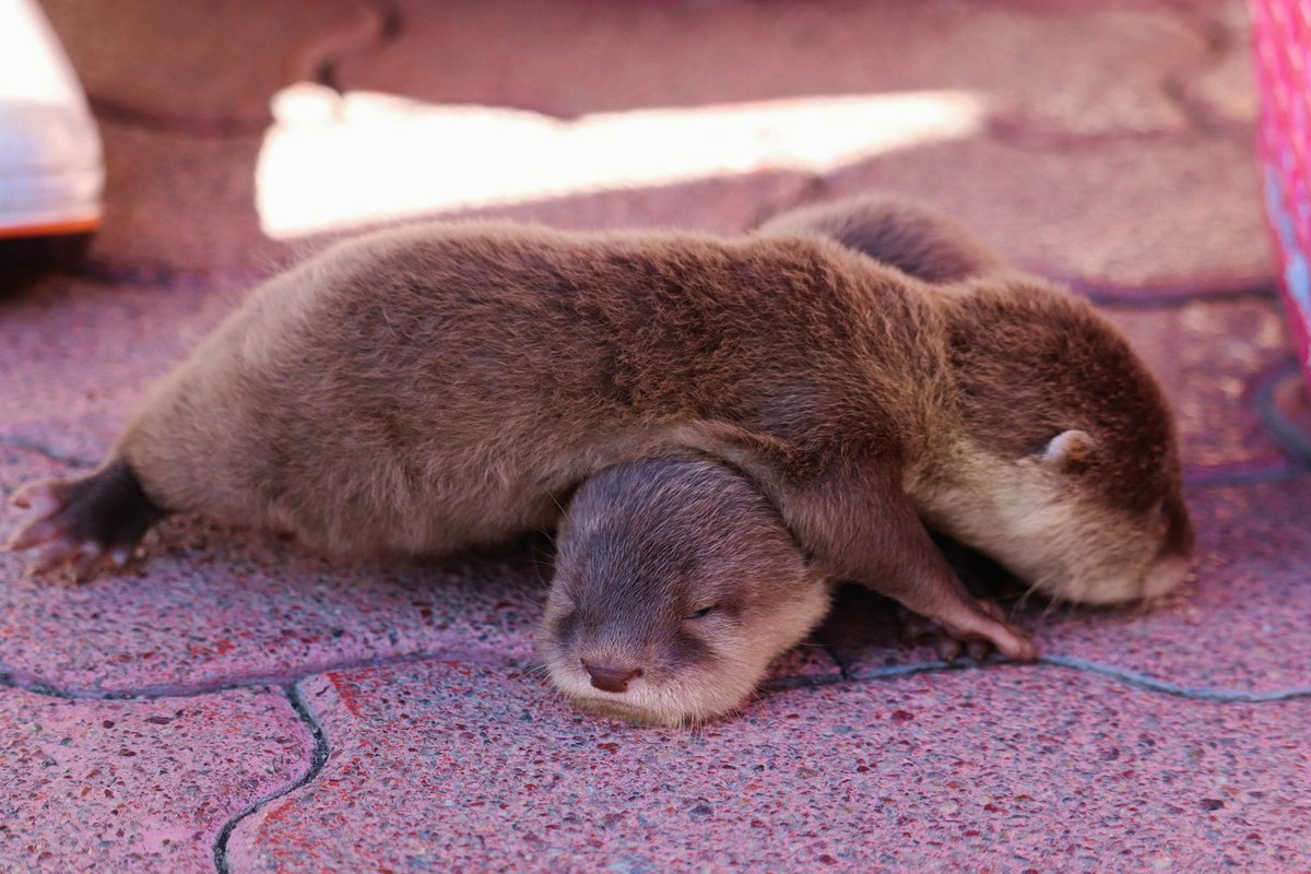 桂浜水族館推特公開了一組小小水獺睡成一團的照片 EmmUB1bU8AALfU0