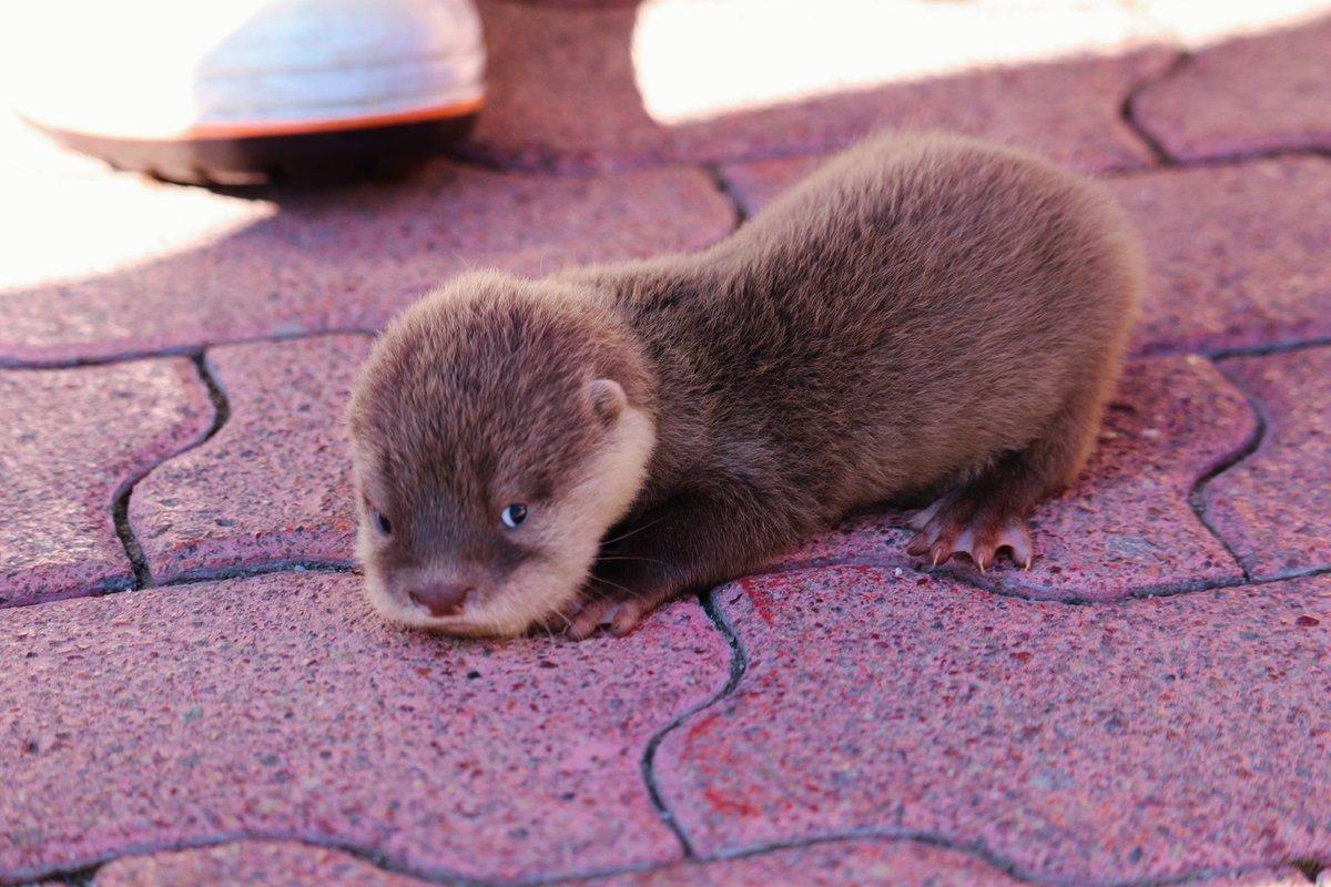桂浜水族館推特公開了一組小小水獺睡成一團的照片 EmmUCbtUYAEltcq