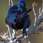 こんな完璧なポーズする鳥いる?尻尾が腕のように見える!