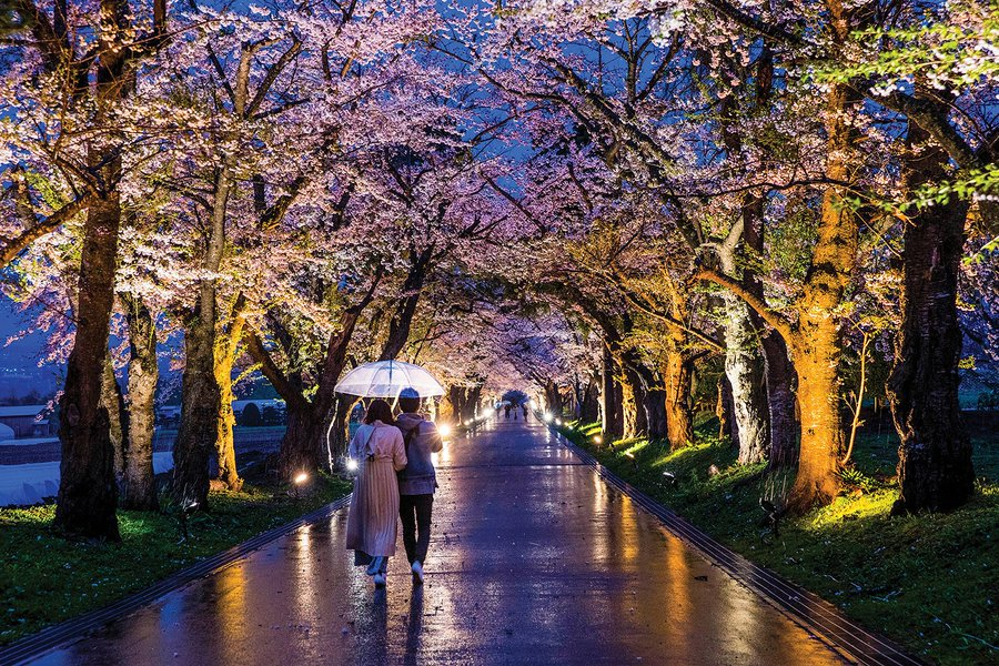 A couple shares an umbrella walking in the evening under a grove of cherry blossom trees.