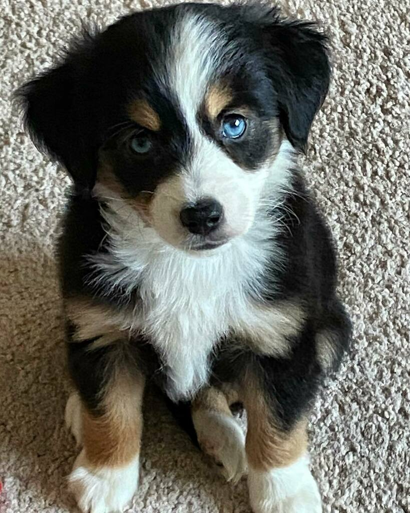So we did a thing today! Meet Skye, our new addition to the family. I'm sure she'll be running things in no time. #bossieaussie  #aussiesofinstagram #blueeyes #puppiesofinstagram #puppylove