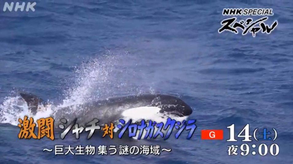 シロ ナガスクジラ vs シャチ