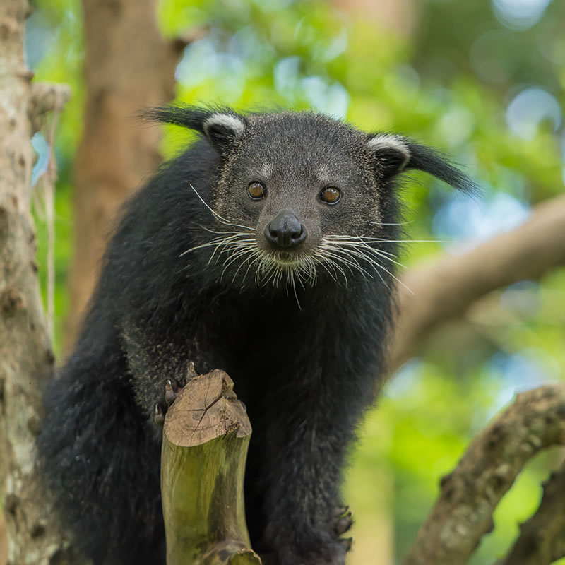 In case you didn't know, this is a Binturong. 😊💜