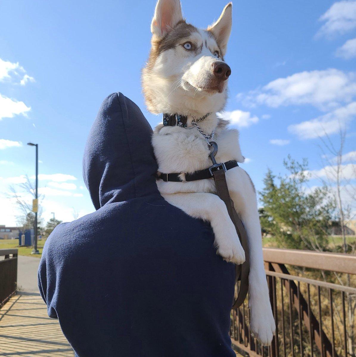 When your 50lb Husky is too afraid to walk across the bridge. 😂😂🐶❤️ #dog #adoption #pets #funny #animals @JaneFallon @rickygervais 😂😂