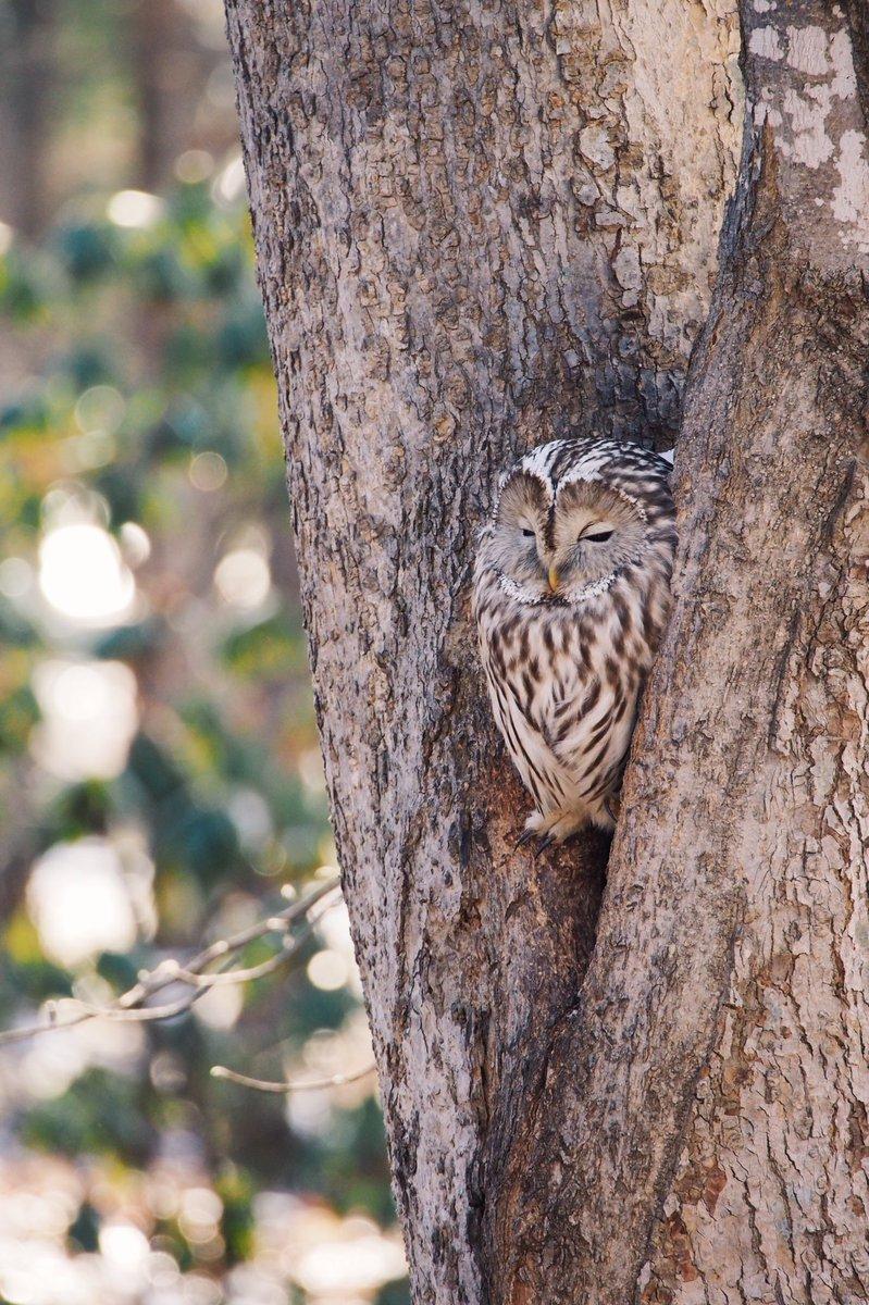 近くの森林公園にフクロウが住んでると聞き、会いに行ってきた。足がちいさくてむちゃくちゃかわいいな…
