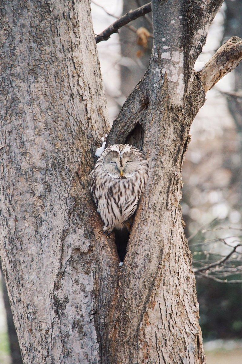 睡在樹中的貓頭鷹 En-aksuUcAIVznL