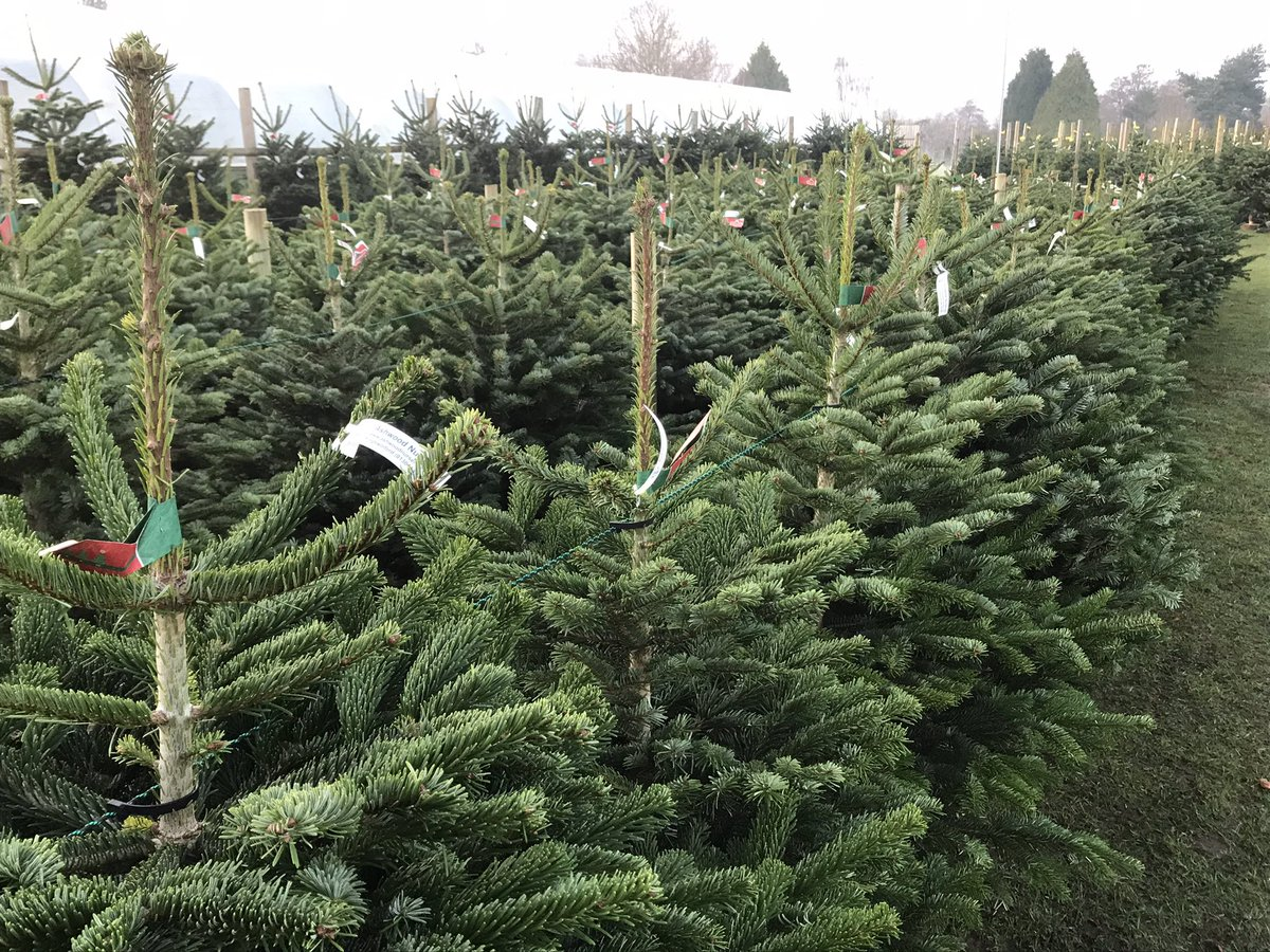 Fresh Christmas Trees are on sale here at Ashwood Nurseries.  We are open 9am-4:30pm Mondays to Saturdays and 9:30am-4:30pm on Sundays.   #christmastrees #nordmann #fraser #spruce #fresh #nonshed #needledropresistant #conifer #christmasiscoming #christmascountdown #tree #xmas