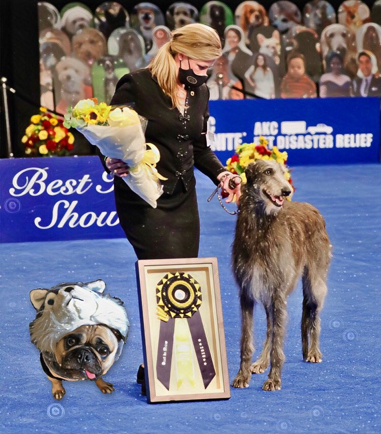 """""""When someone photo bombs your magical Best In Show moment!"""" 💣 -Max  #max #pug #dog #bestinshow #pic #winner #best #pretty #dogshow #smart #first #puglife #doglife #fun #photobomb #imthatgood #beauty #hugs #kisses #love #doglover #magic #magical #loveyoutothemoonandback 💋"""