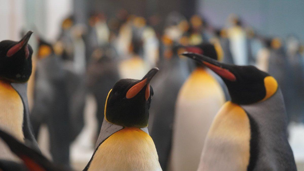 ペンギンのコロニー  #キングペンギン #オウサマペンギン #アドベンチャーワールド https://t.co/e9m17LL7SB