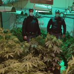 Image for the Tweet beginning: #Cronaca #boccadifalco Serra di marijuana