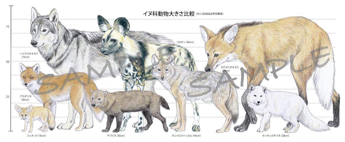 ふと思いついて「イヌ科動物の大きさ比較図」を作ってみました。なかなか面白い(禁無断転載)