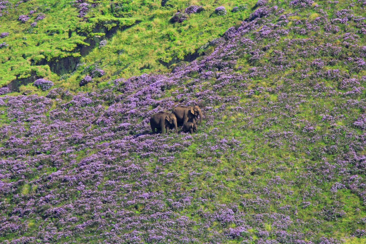 Sometimes, life is just picture perfect. #kerala #nature #sundayvibes #munnar  Pictured: Wild elephants in Mattupetty surrounded by Neelakurinji flowers / Photo credits: Hadlee Renjith