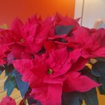 Image for the Tweet beginning: Beautiful poinsettias from @Plants_By_Post 💯❤️