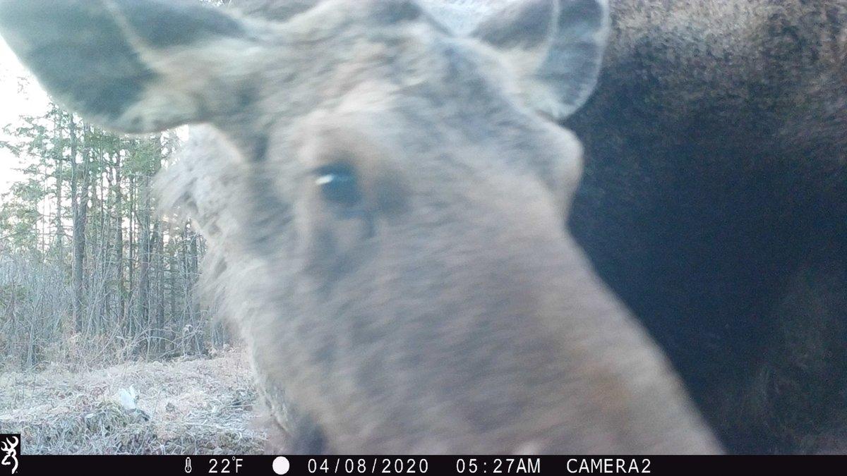 RT @bangordailynews: This moose caught on a trail cam has its eye on you https://t.co/WBNwPpefHG https://t.co/fLJq8wrrun