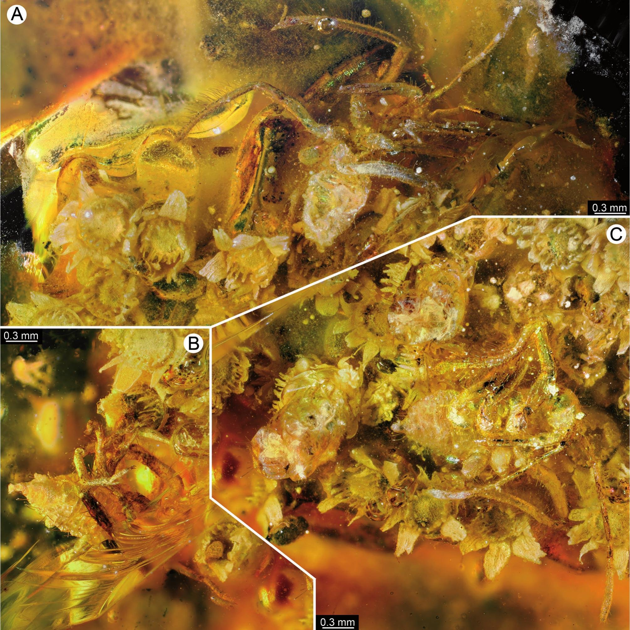 Hatching assassin bug nymphs from Dominican Amber.  Image from Hörnig et al. 2019.