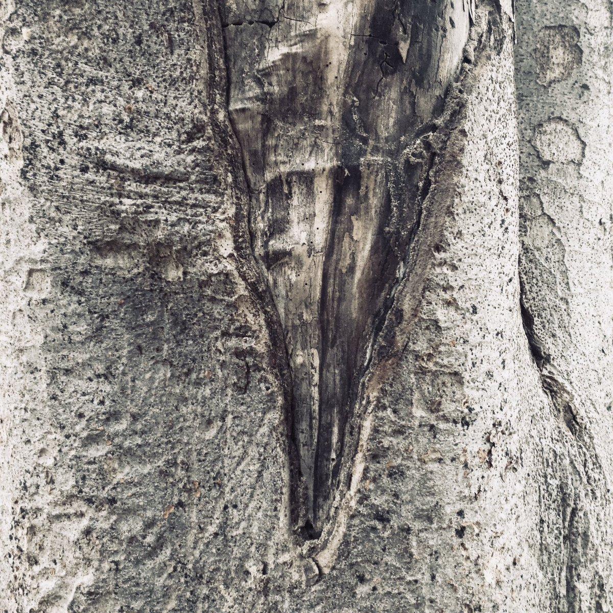 【樹皮蒐集】楔(くさび) #樹皮蒐集 #樹を撮る人 #樹皮 #樹木 #自然 #写真 #写真好きな人と繋がりたい #nature #photo #photography #tree https://t.co/iwXZQne3CA