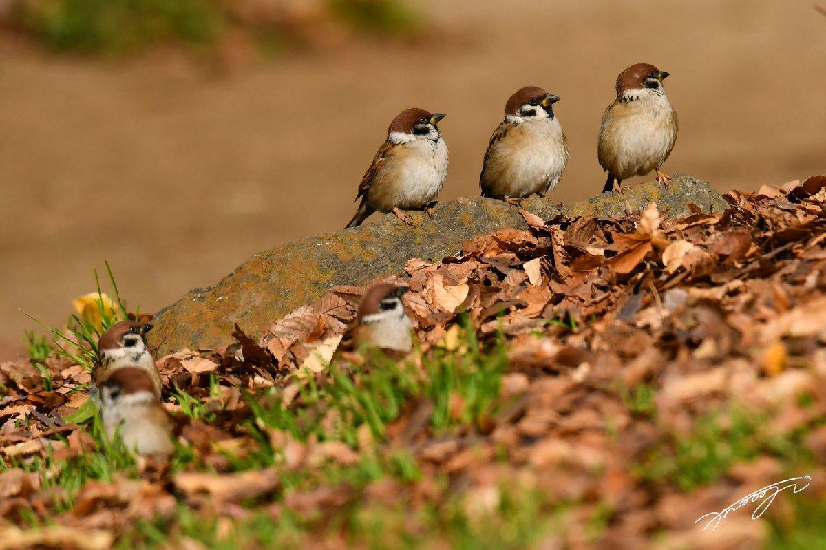明日が待ち遠しいね。おやすみなさい😊  ・:*+.小さなあの子の物語.:+*:・ #スズメ写真集『あした、どこかで。』全4巻のお求めはaliveOnlineShop👉https://t.co/Hy7AHbNdRp 🐣      #スズメ界 #ちゅん活  #スズメ #sparrow   #自然 #nature   #写真 #photo #photography   #鳥 #bird https://t.co/MYuAR4Ky4j