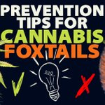 Image for the Tweet beginning: Prevention Tips For Cannabis Foxtailing