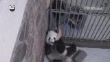 萌大・萌二の成都基地時代。人気者だった2頭は1才で北京動物園に移動することになりました。移動直前、飼育員さんが最後の掃除をし、何も知らない2頭に最後のミルクを与えます。愛おしむように萌二の頭を撫でるところに泣きました😭ぜひご覧下さい!👍@ipandacom