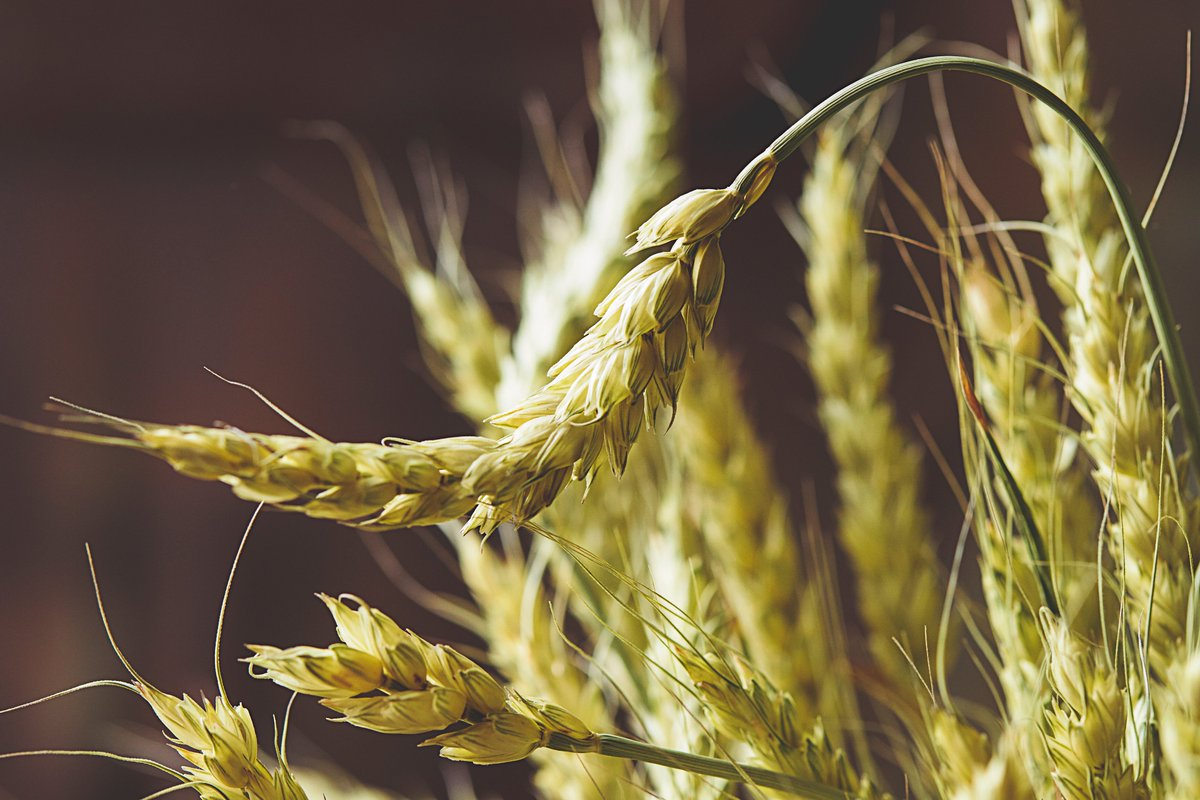 Light wheat background #food #harvest #wheat #foodie #background #stockphoto