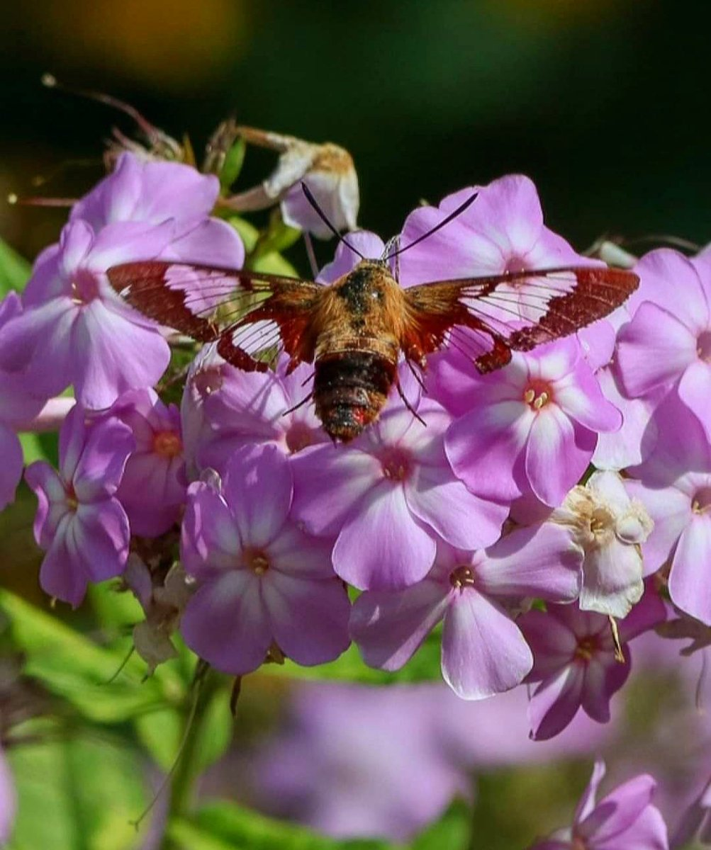 Clearwing Hummingbird Moth. I am amazed by them. See you next year. #wildlife #wildlifephotography #NaturePhotography #naturepic #nature #naturephoto #naturelovers https://t.co/oUj6SmowI3