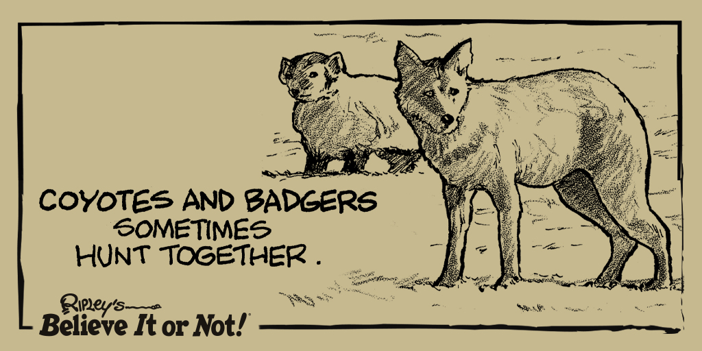 Howlin' and prowlin'! #Badgers #Coyotes