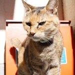 Image for the Tweet beginning: ガニ股なってません? #力強い脚つき #どすこい感   #neko #cat #猫部 #猫