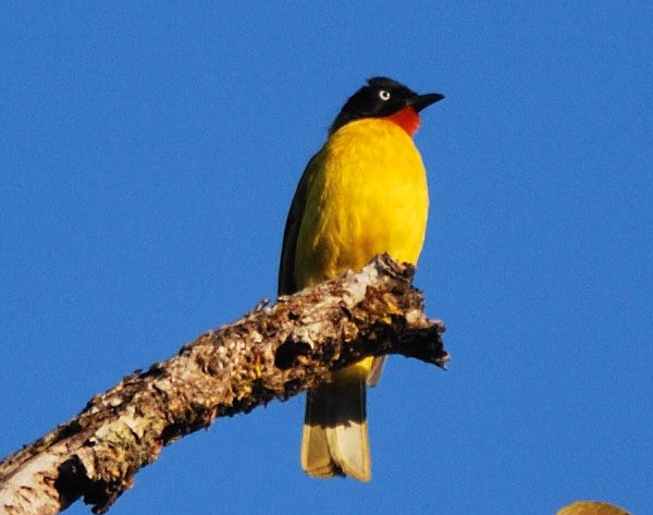 Hope your weekend is going to be bright , beautiful and filled with blue skies and yellow birds . A flame throated or a ruby throated bulbul posed for me in the jungles of Goa . #birding #indiaves #TwitterNatureCommunity #NaturePhotography @Avibase @IndiAves https://t.co/8RYISFITx1