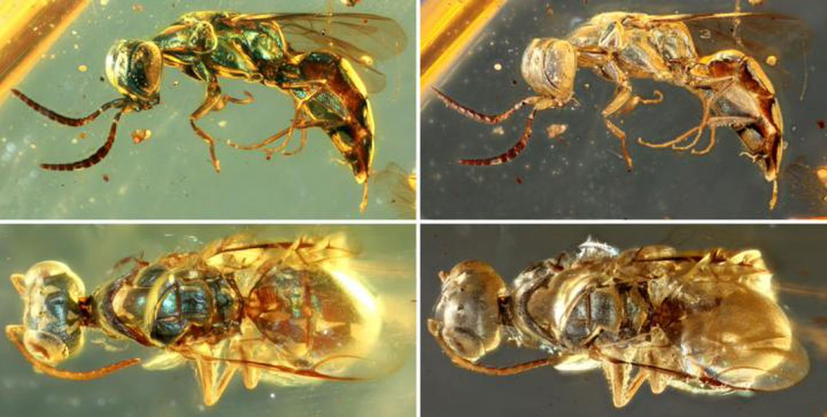 These insects preserved in amber are still glowing 99 million years later  #Biology #Paleontology #fossil #astrobiology
