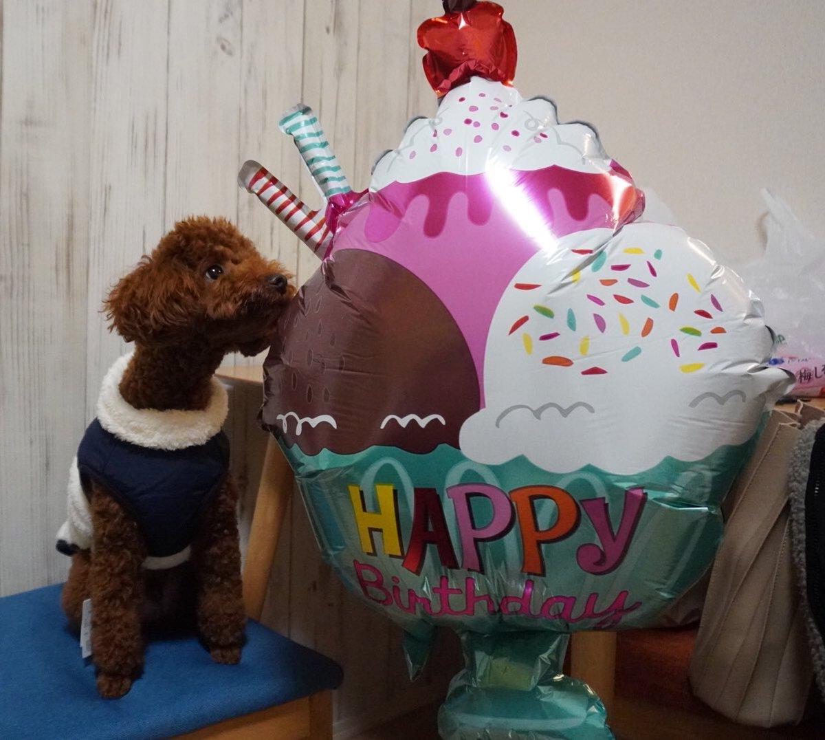 それは食べられません🧸🍰🎈⚠️ #トイプードル #犬 #toypoodle #dog #youtube始めました https://t.co/OnTJbjnolm